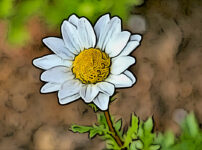 カンシロギクの植物図鑑と育て方