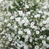 カスミソウの花畑