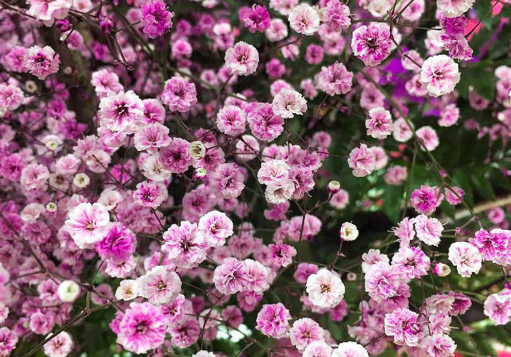 カスミソウのピンクの花