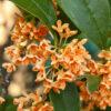 キンモクセイの花の拡大