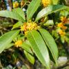 キンモクセイの花と葉