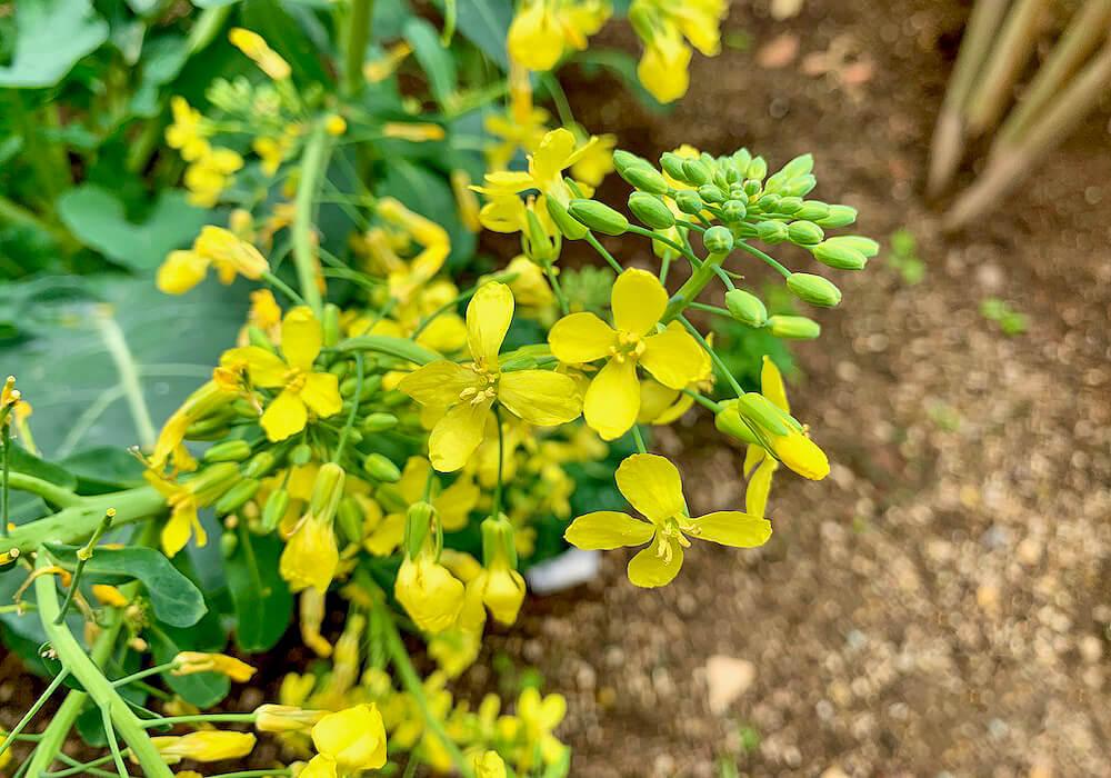 メキャベツの花の拡大