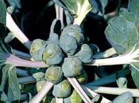 メキャベツの植物図鑑と育て方