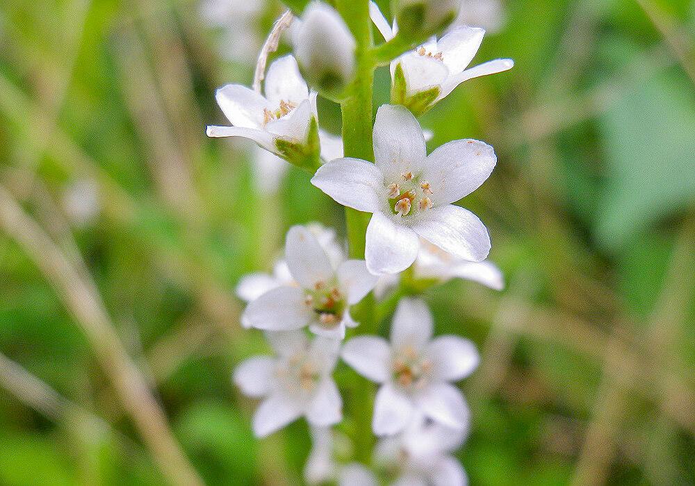ヌマトラノオの花