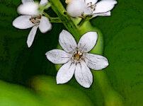 ヌマトラノオの植物図鑑と育て方