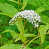 オカトラノオの花