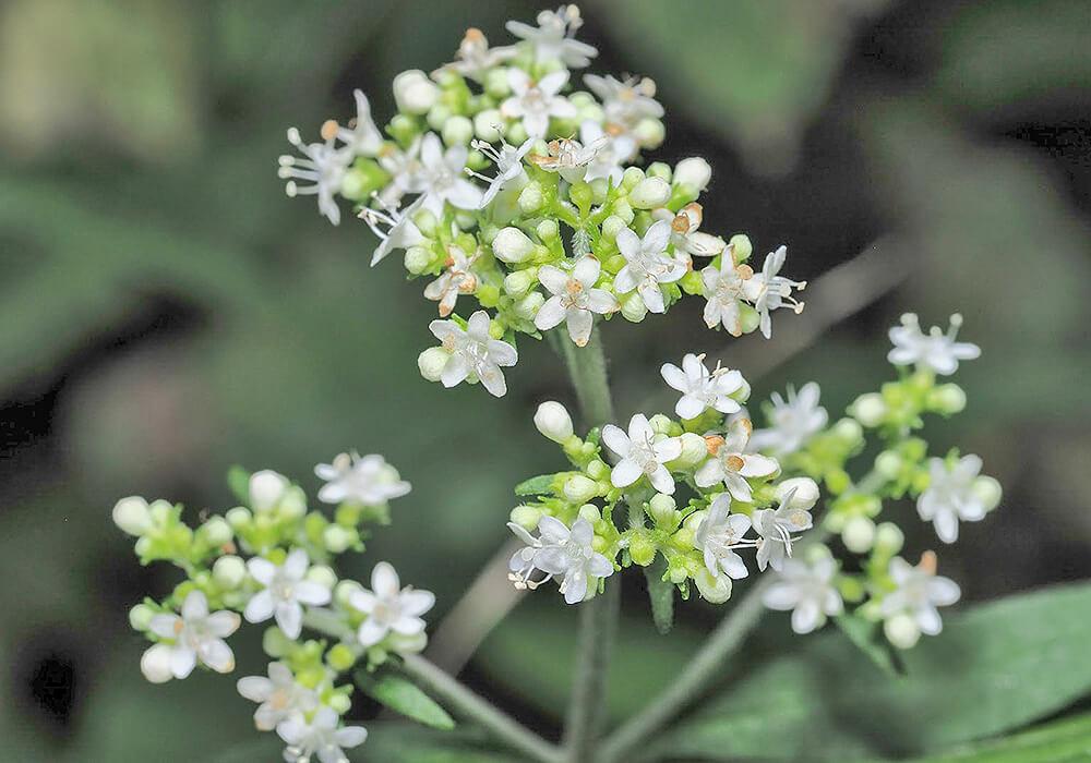オトコエシの花の拡大