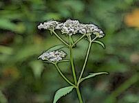 オトコエシの植物図鑑と育て方