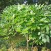ヤツデの木