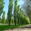 ポプラ並木