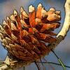 アカマツの植物図鑑と育て方