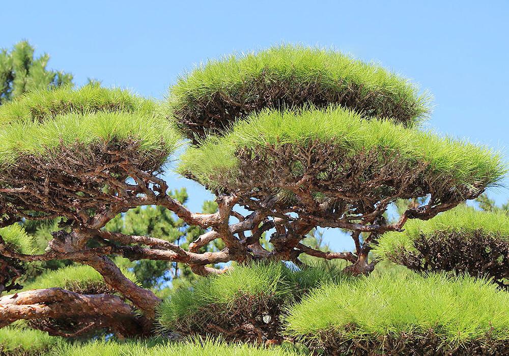 アカマツの枝