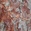 アカマツの樹皮