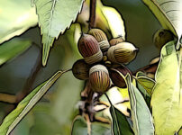 アラカシの植物図鑑と育て方