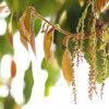 アラカシの花