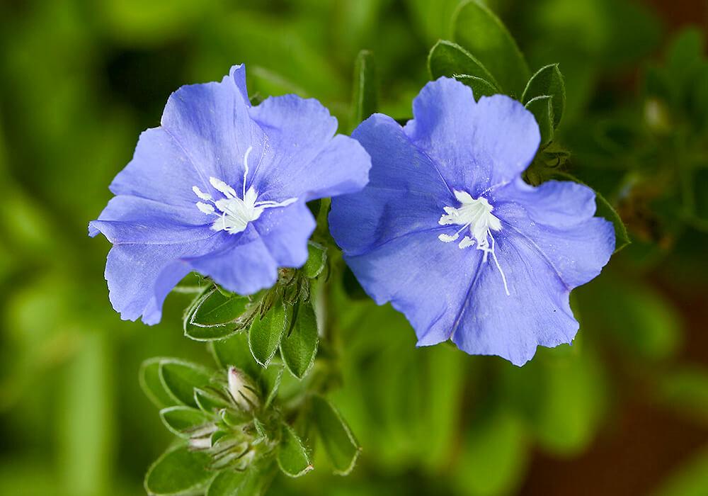 エボルブルスの花