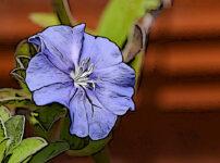 エボルブルスの植物図鑑と育て方