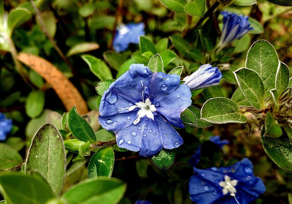 エボルブルスの葉と花