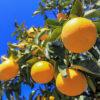 ハッサクの果実