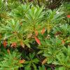 ホルトノキの葉と花