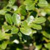 イヌツゲの葉