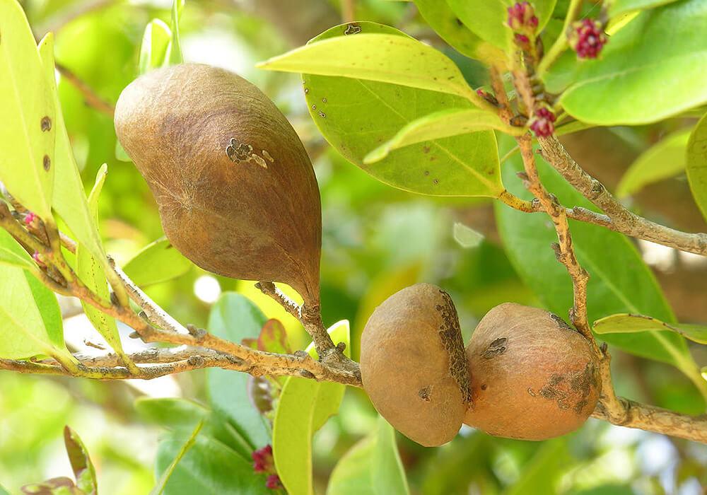 イスノキの果実
