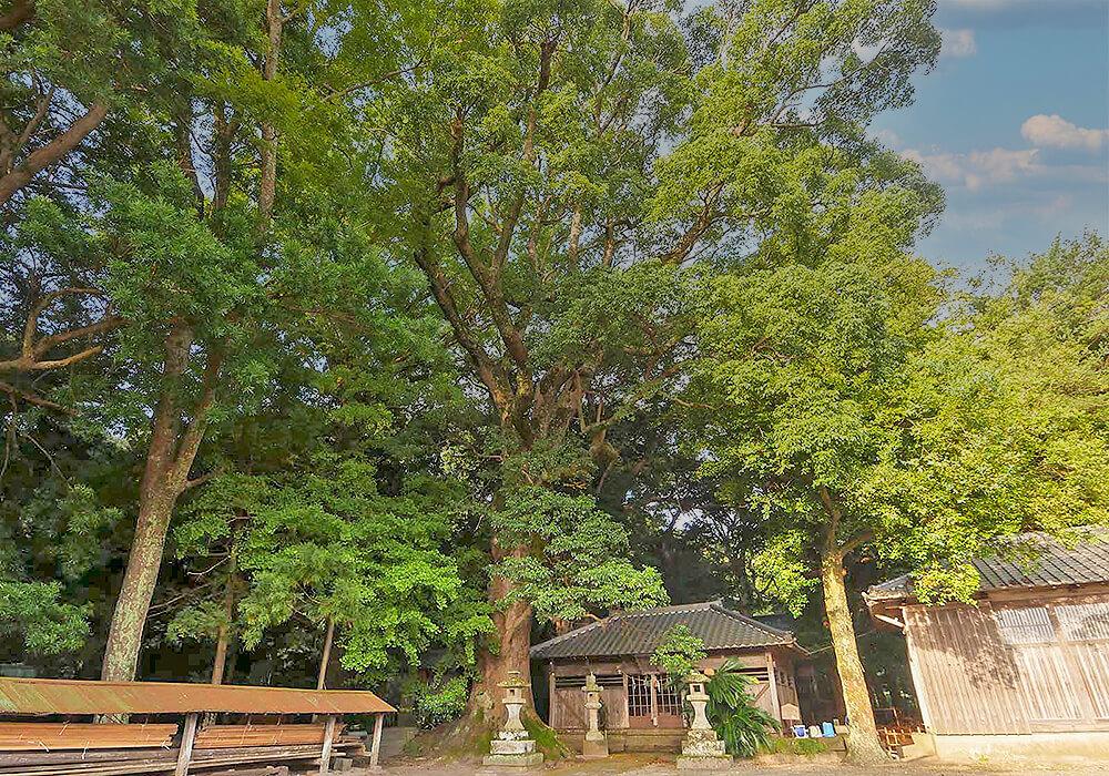 イスノキの大木