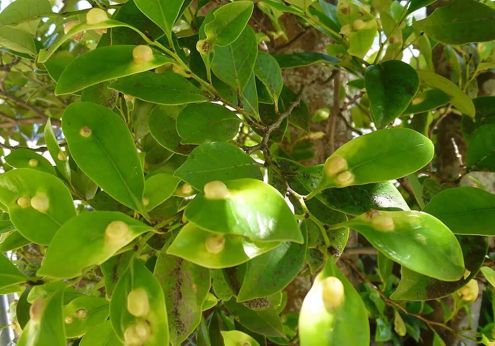 イスノキの葉