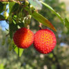 イチゴノキの果実