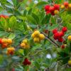 イチゴノキの葉と果実