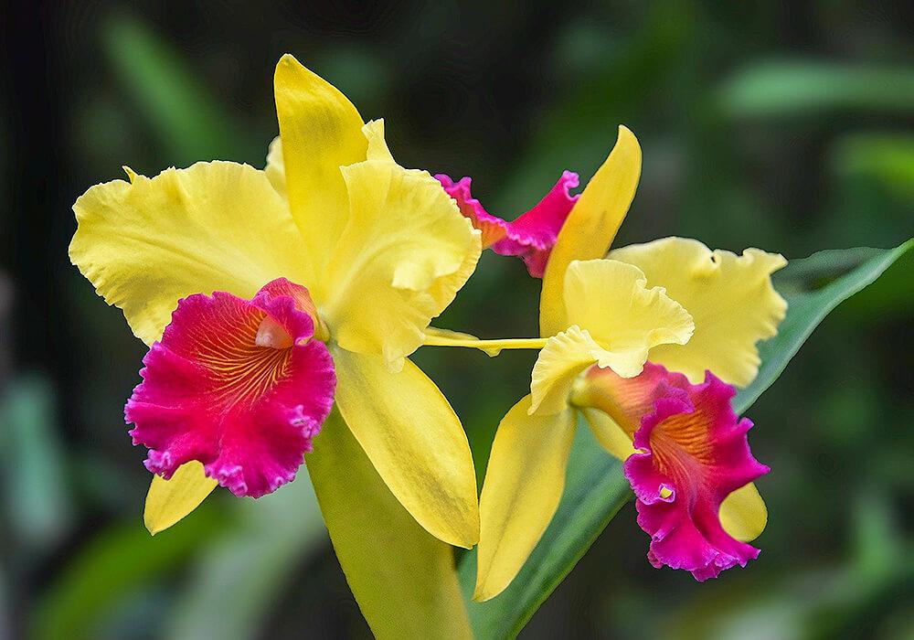 黄色のカトレアの花