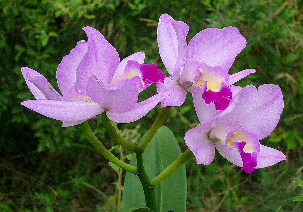 ピンクのカトレアの花