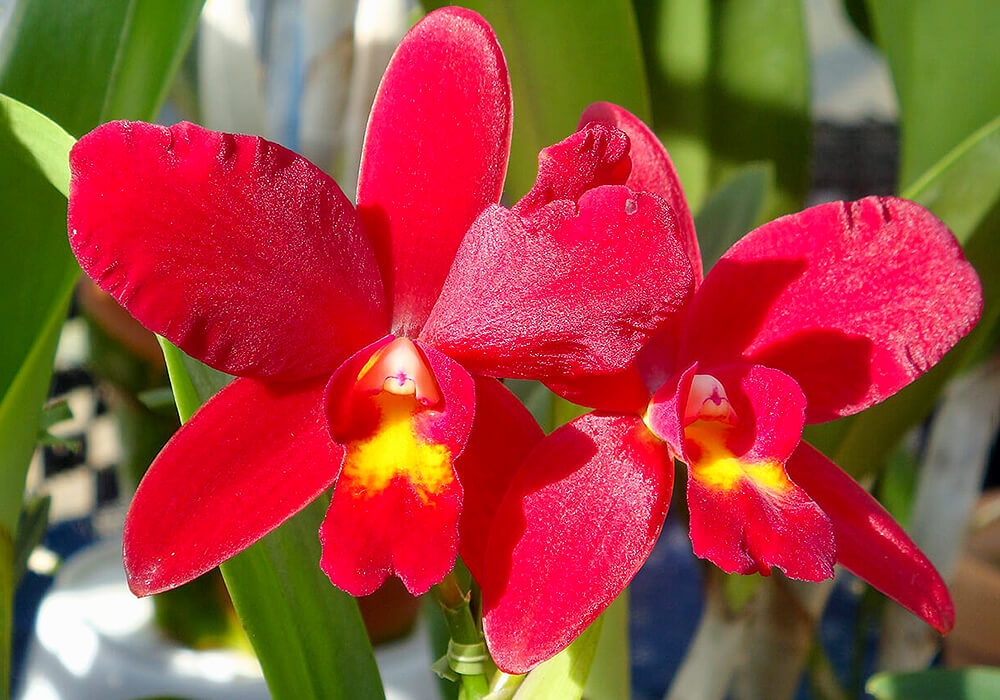 赤いカトレアの花