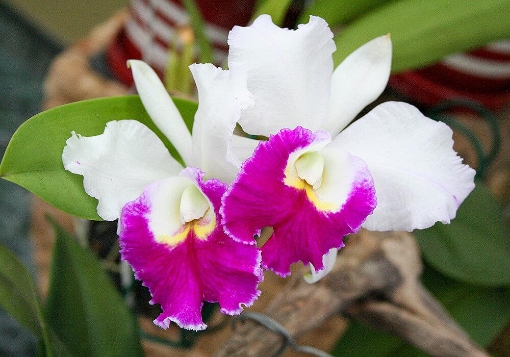 白いカトレアの花