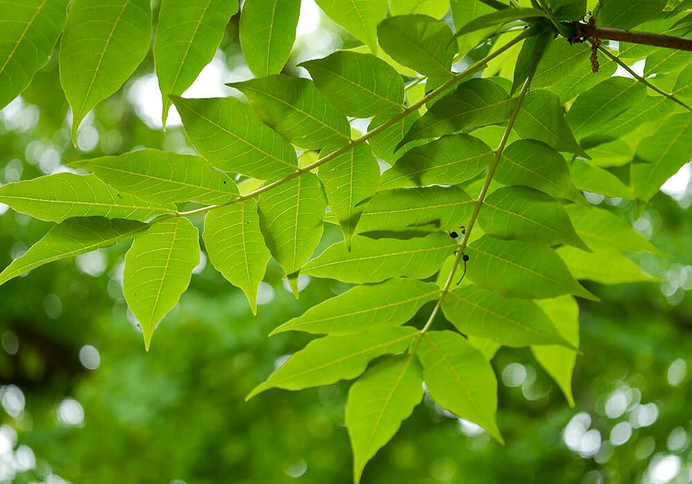キハダの葉