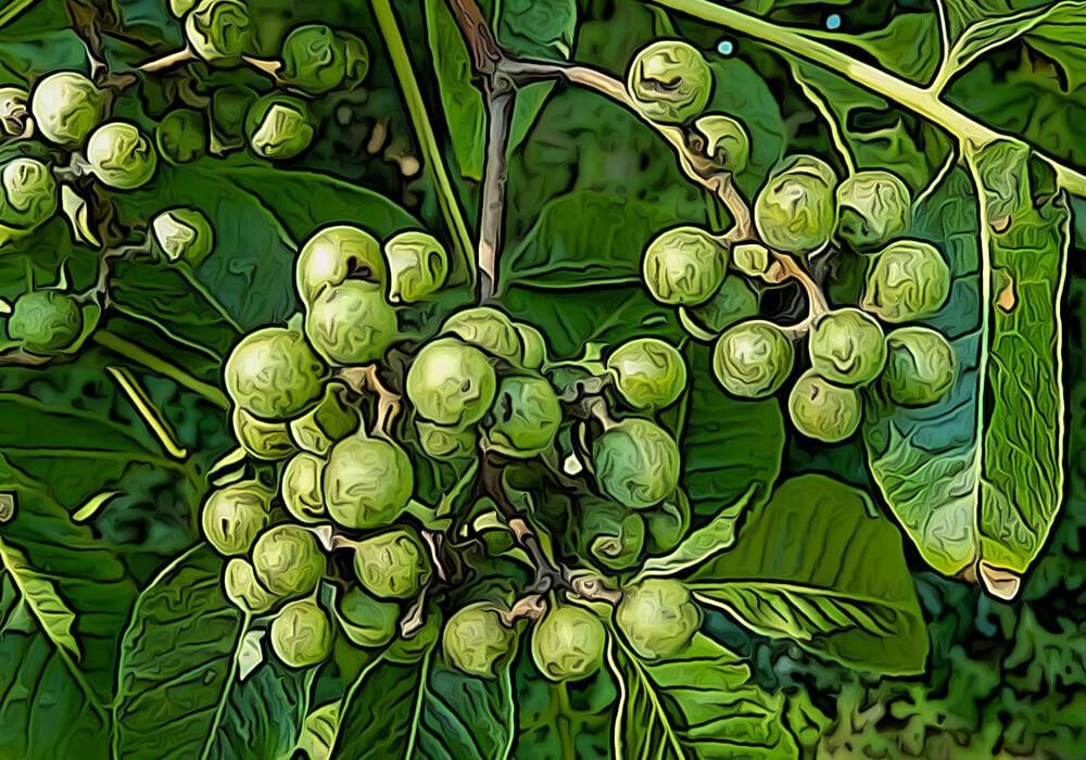 キハダの植物図鑑と育て方