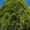 コノテガシワの樹形