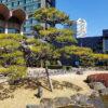 日本庭園のクロマツ