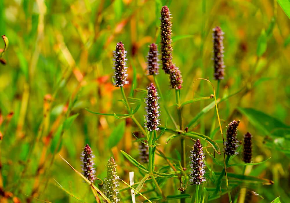 ミズネコノオの花