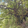 ウラジロガシの木