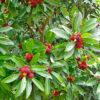 ヤマモモの葉と果実