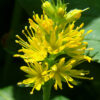 ヤナギトラノオ花の拡大