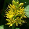 ヤナギトラノオの植物図鑑と育て方