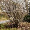 アブラチャンの樹形