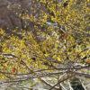 アブラチャンの開花