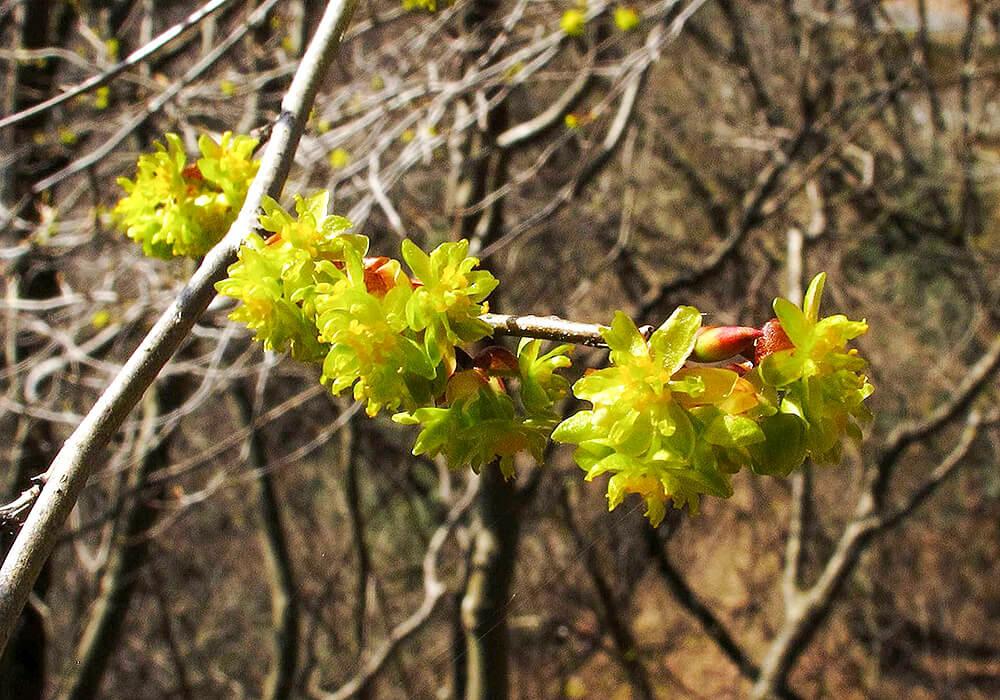 アブラチャンの花