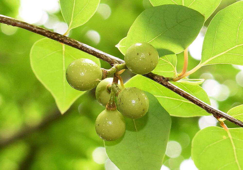 アブラチャンの果実