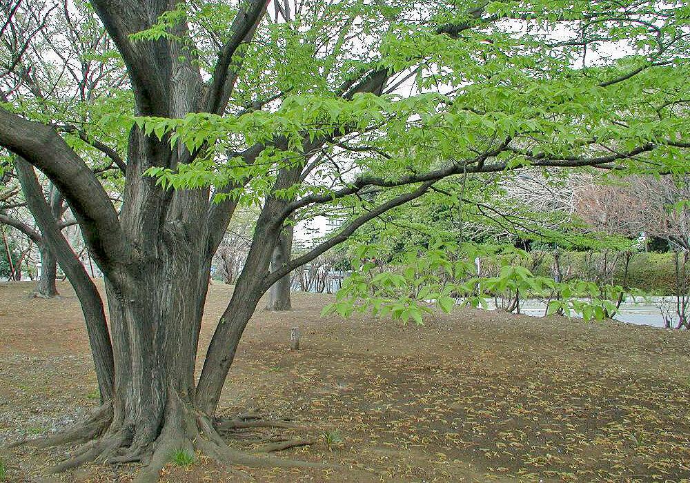 アカシデの木