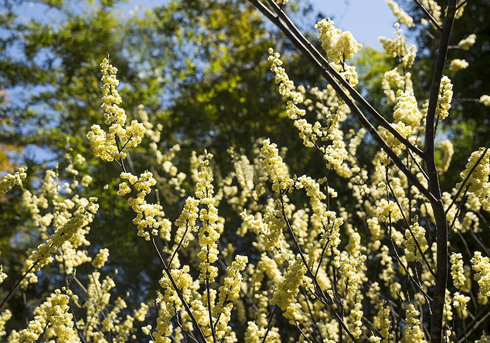 アオモジの開花