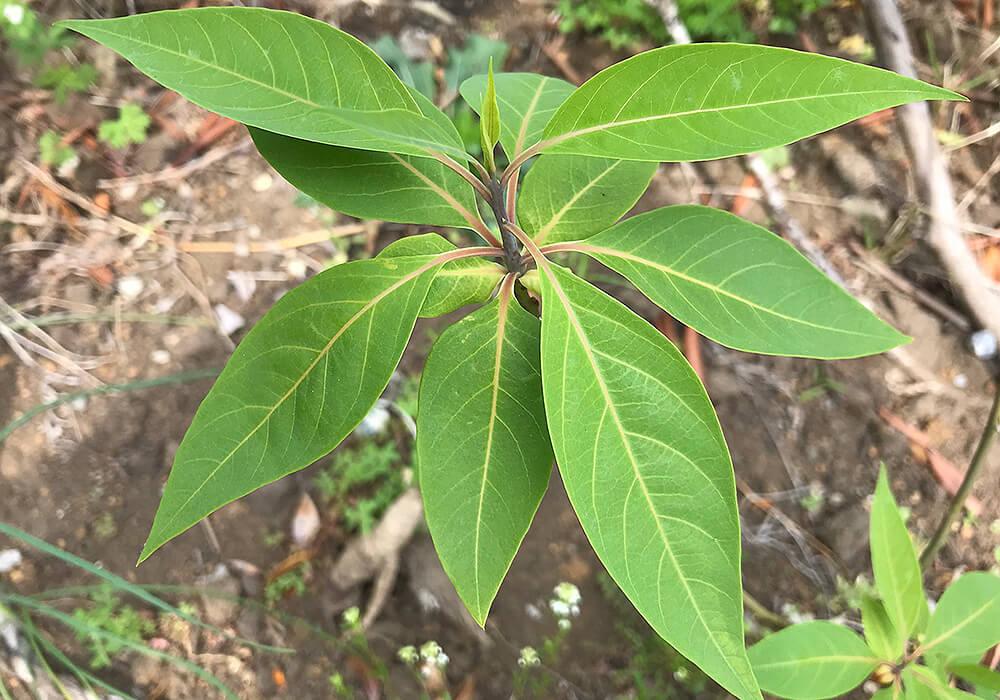 アオモジの葉